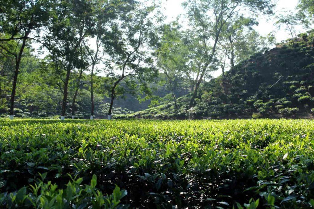 Visit-Tea-estates-Kaziranga
