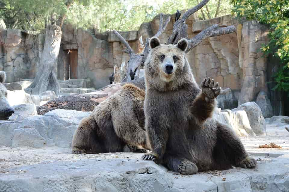 bear-National-Zoological-Park