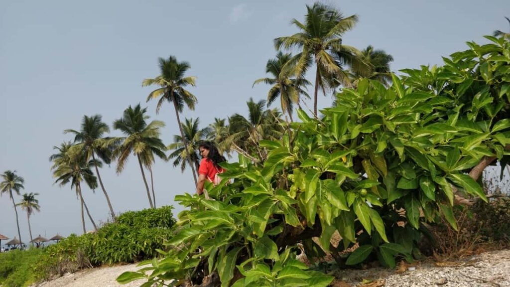 coconut-trees-in-St.-Mary's-Island