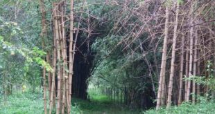 Bamboo groves in Nisargadhama Coorg