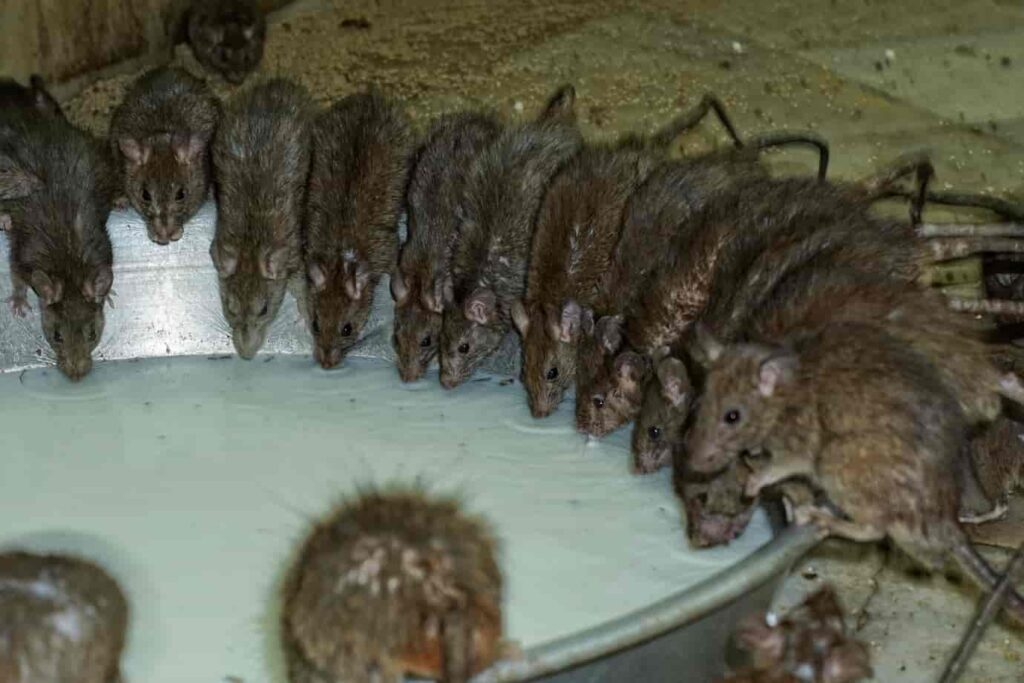 Bikaner Rat Temple is based on a legend- Karni Mata had four sons and her stepson once fell in the lake while trying o drink water from it