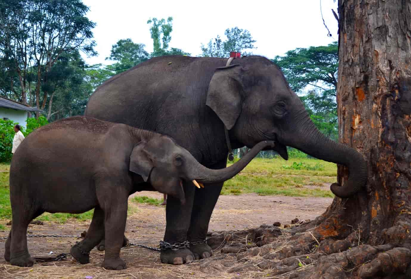 Dubare-forest-has-a-forest-camp-on-the-banks-of-river-Kaveri-and-is-known-for-its-Asiatic-Elephants