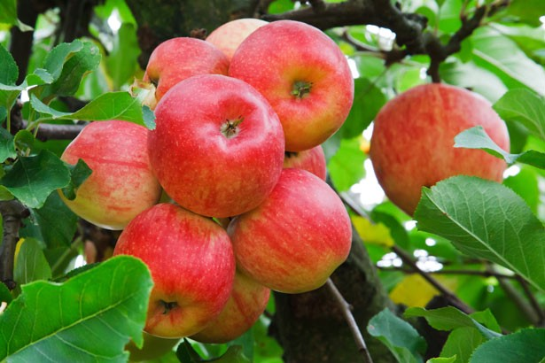 We-are-all-fond-of-apples-from-Himachal-Pradesh.-But-who-brought-apple-farming-to-Himachal