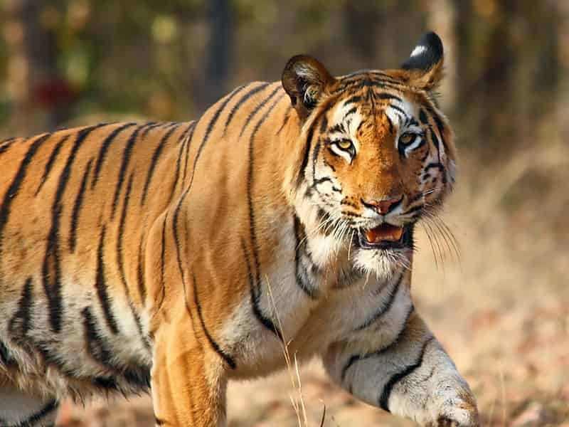 Kalagarh-Tiger-Reserve-forms-the-northern-end-of-the-Jim-Corbett-National-Park-Lansdowne