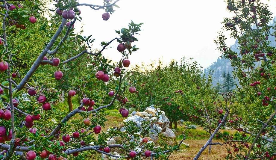 fruits in sangla valley himachal pradesh